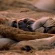 Aslanlarla Yürüyüş Resimleri