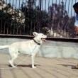 Beyaz Köpek Resimleri