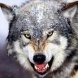Timberwolf Resimleri