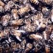Katil Arılar(ı) Resimleri
