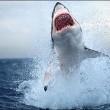 The Sharks Of The Deep Blue Sea Resimleri