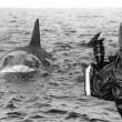Jaws Resimleri 28