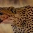 Çitalar: Kalahari'de Ölümüne Yarış Resimleri