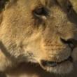 Amansız Düşmanlar: Aslanlar ve Bufalolar Resimleri