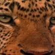Leoparın Karanlık Dünyası Resimleri